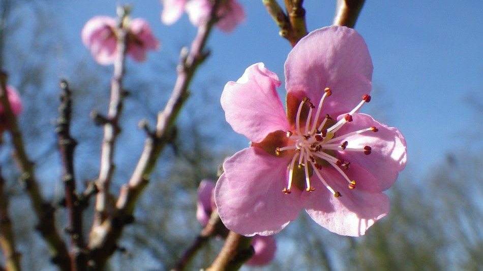 spring pink flowers of an apple tree in the sun