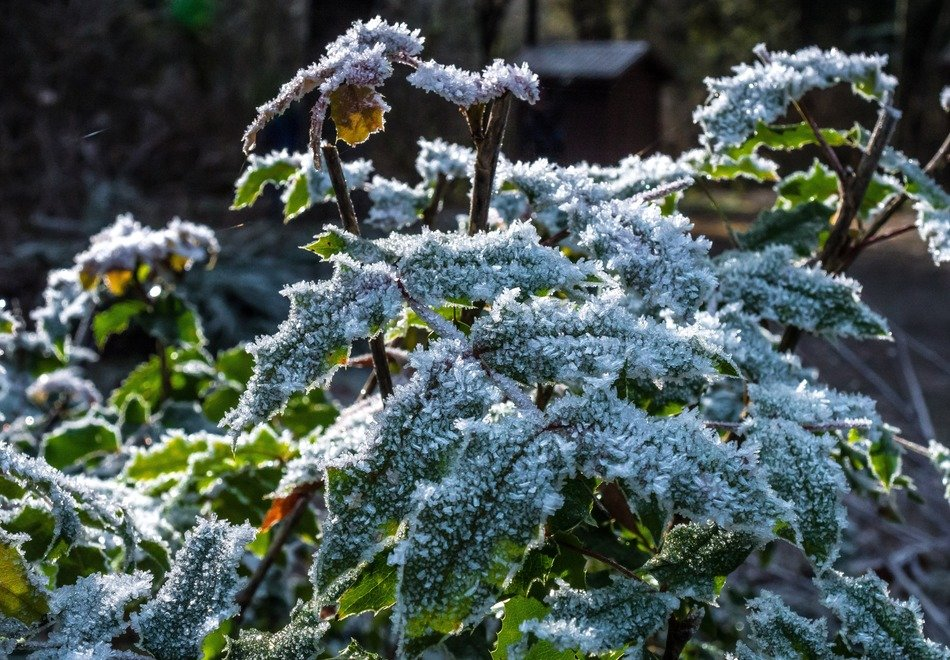 green plant in the frost in winter