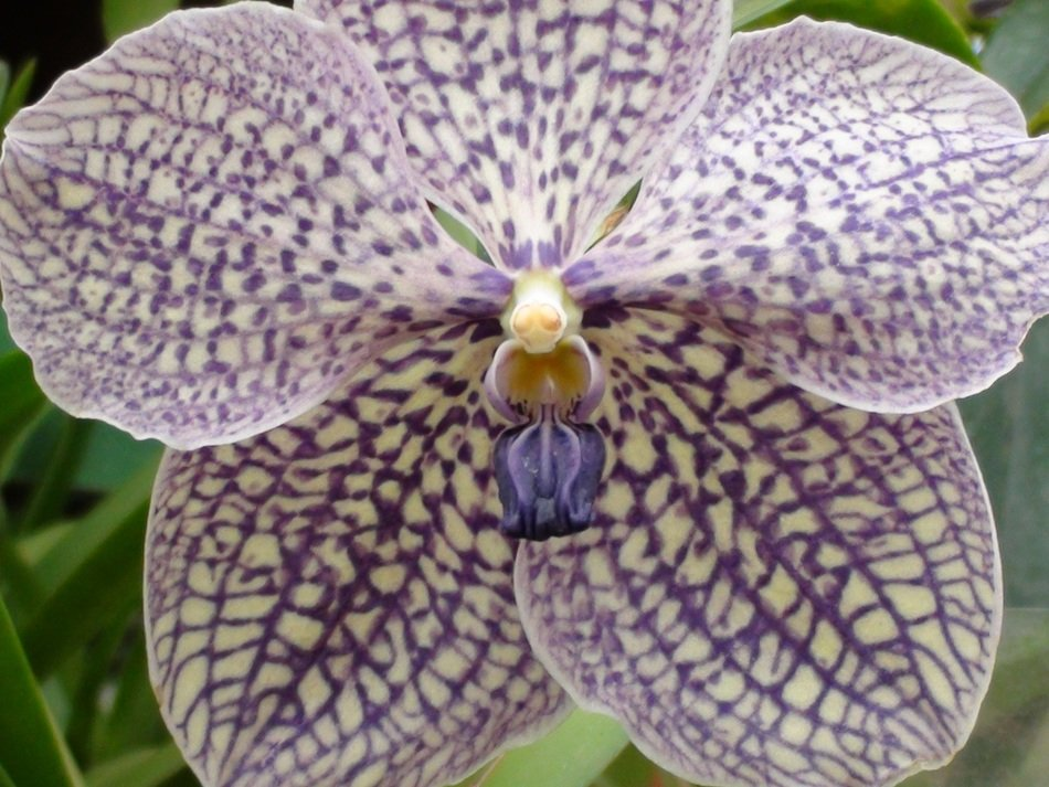 violet white orchid close up