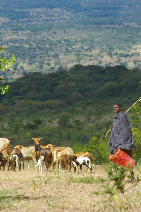 a shepherd with a flock of sheep in a meadow in tanzania