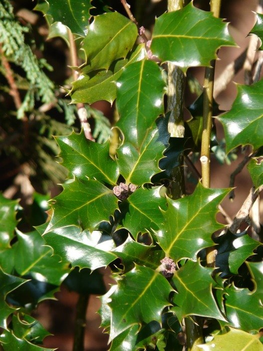 platanoides leaves of holly