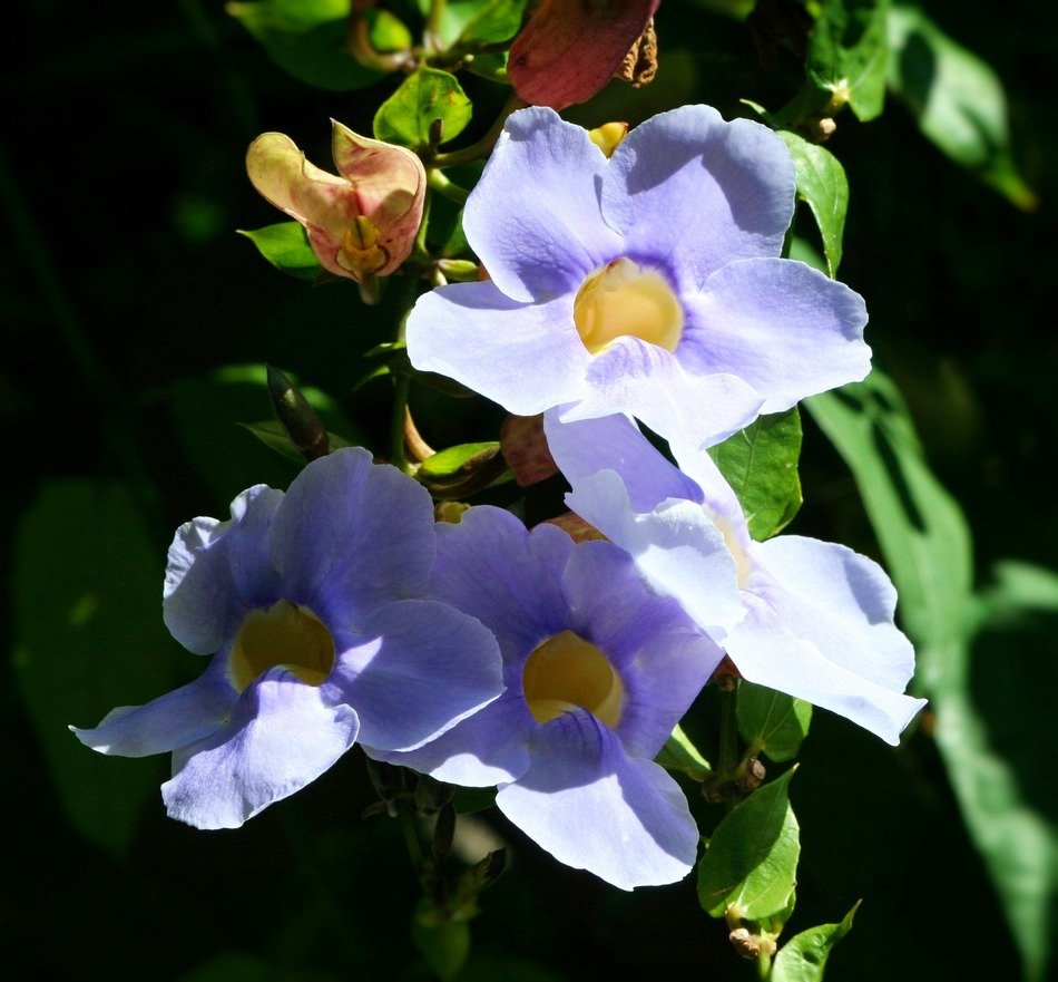 blue primroses under the spring sun in the forest