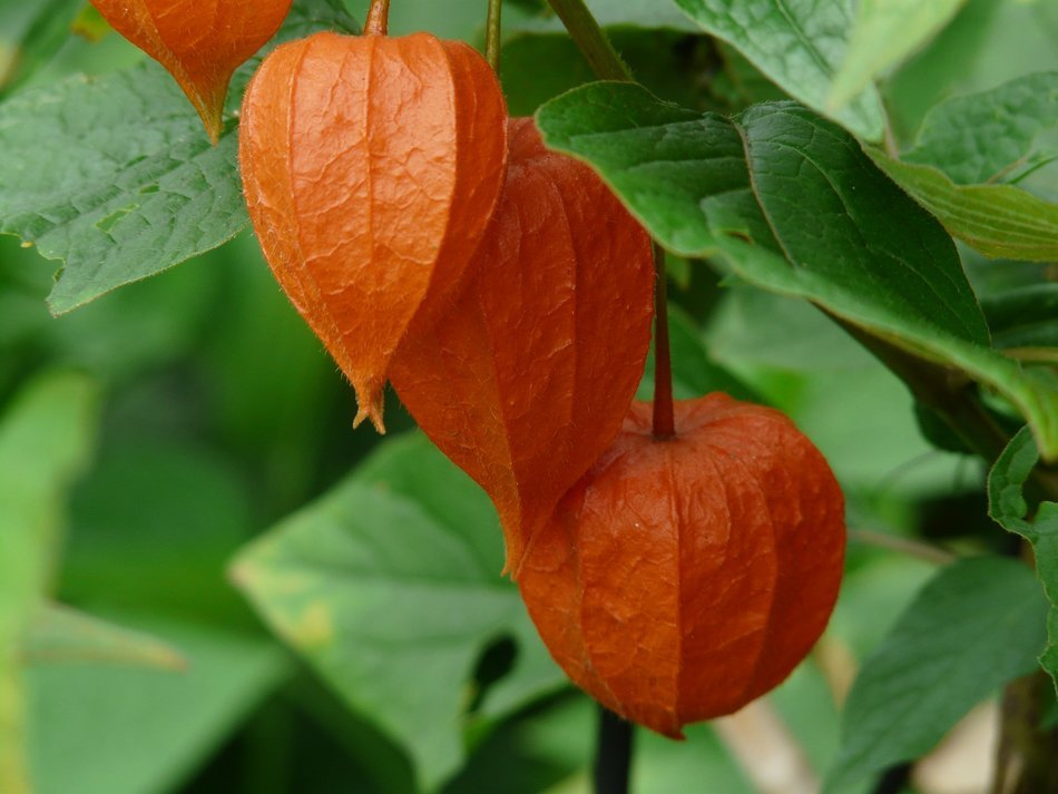 physalis alkekengi among green leaves