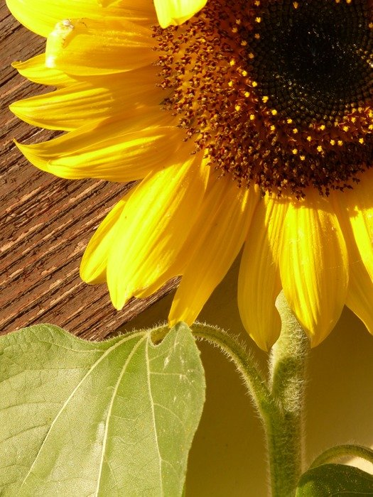 sunflower on a thick stalk