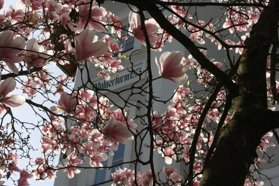 Pink magnolia flowers blossom on the tree