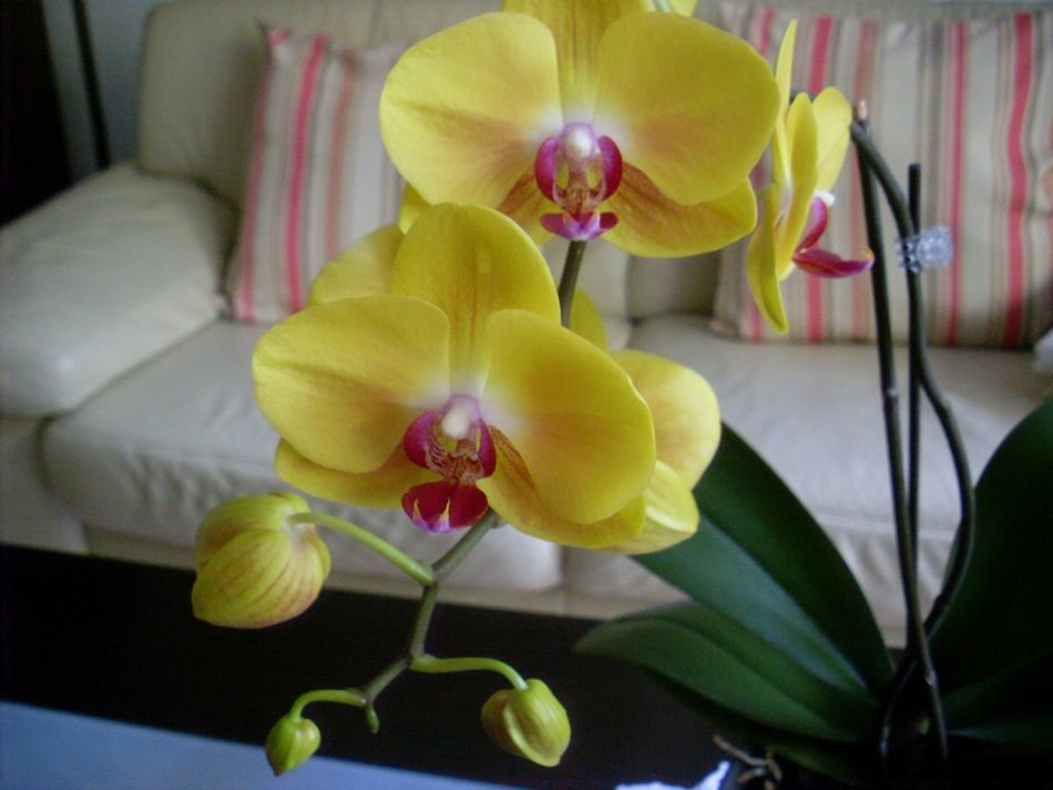 yellow orchids on the background of the sofa