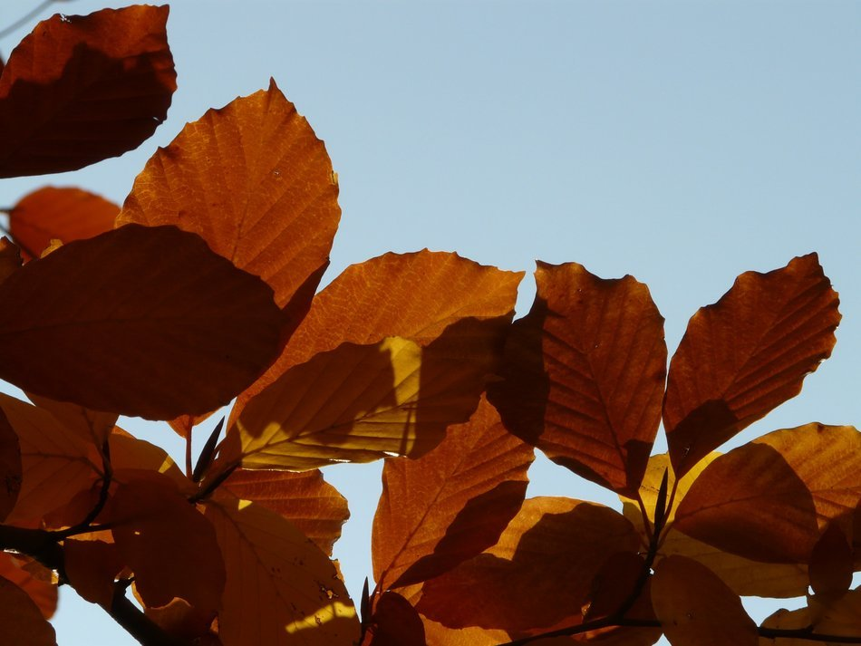 brown leaves of the European beech against the sky