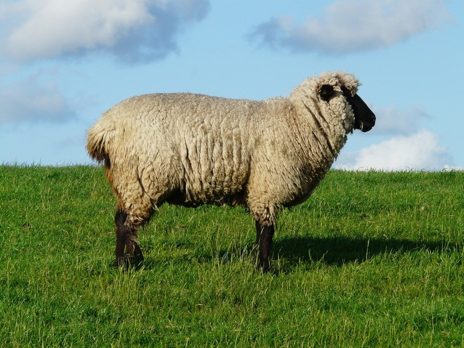 a lone sheep in a meadow, north sea