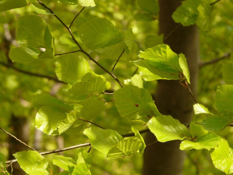 light green leaves of European beech on the background of a tree trunk