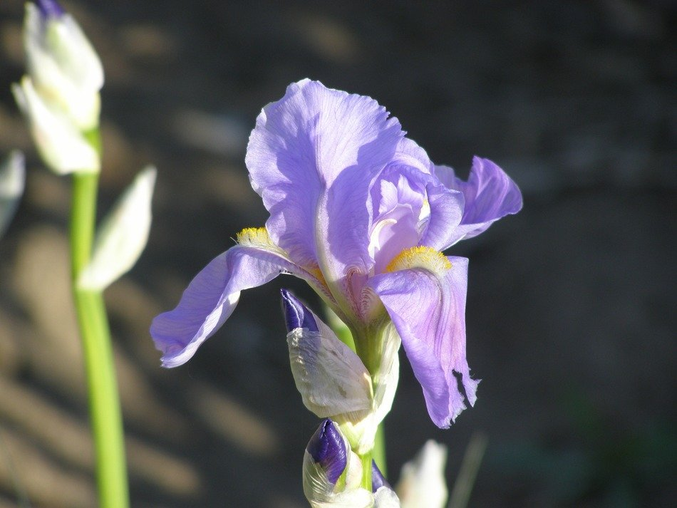 blue iris on a blurred background