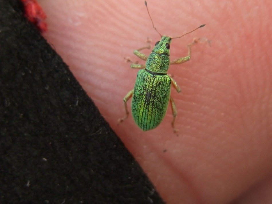phyllobius on the hand