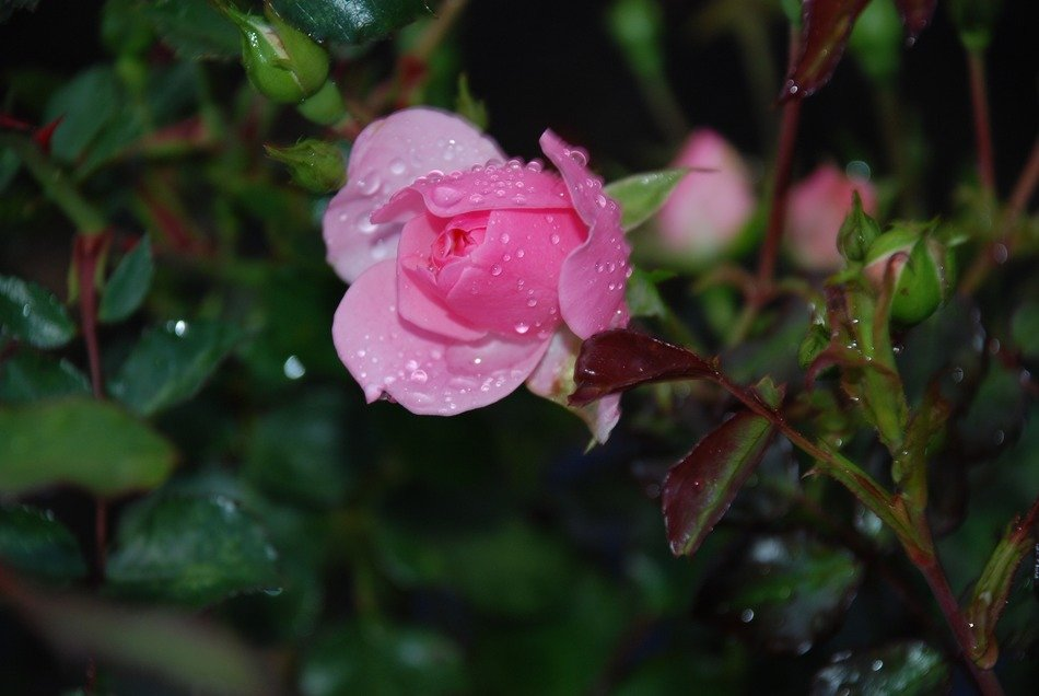 dew drops on pink rose