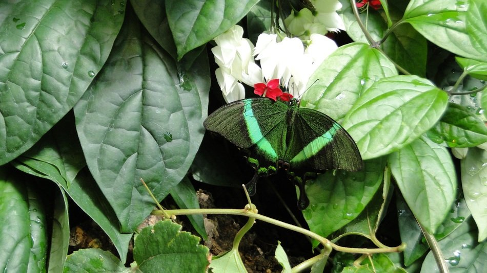 dark green butterfly among the leaves