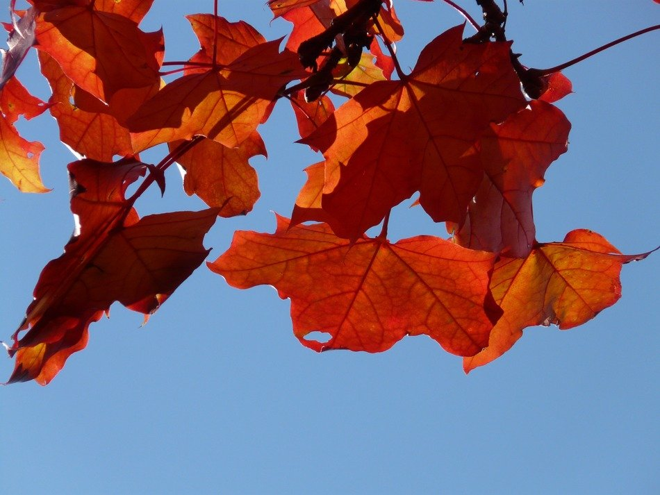 colorful maple leaves against the sky