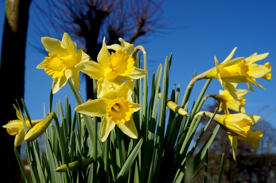 beautiful yellow narcissus blossoms in spring
