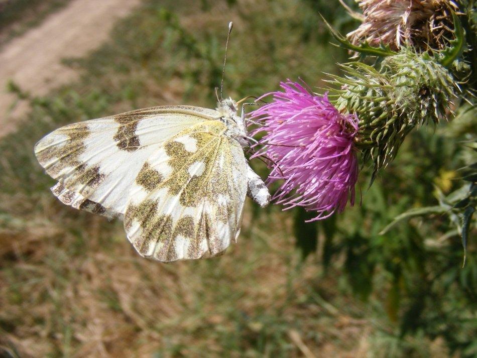 butterfly on a flower thistle
