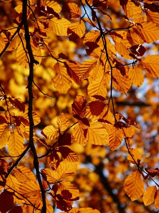 European beech in the fall on a sunny day