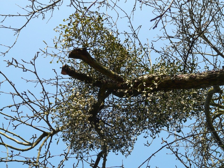 bottom view of the tree mistletoe