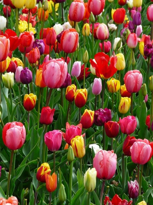 colorful tulips in grass