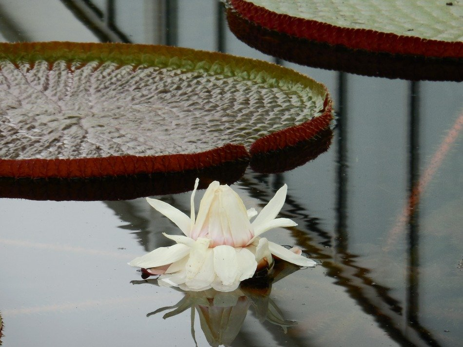 White water lily in the pond