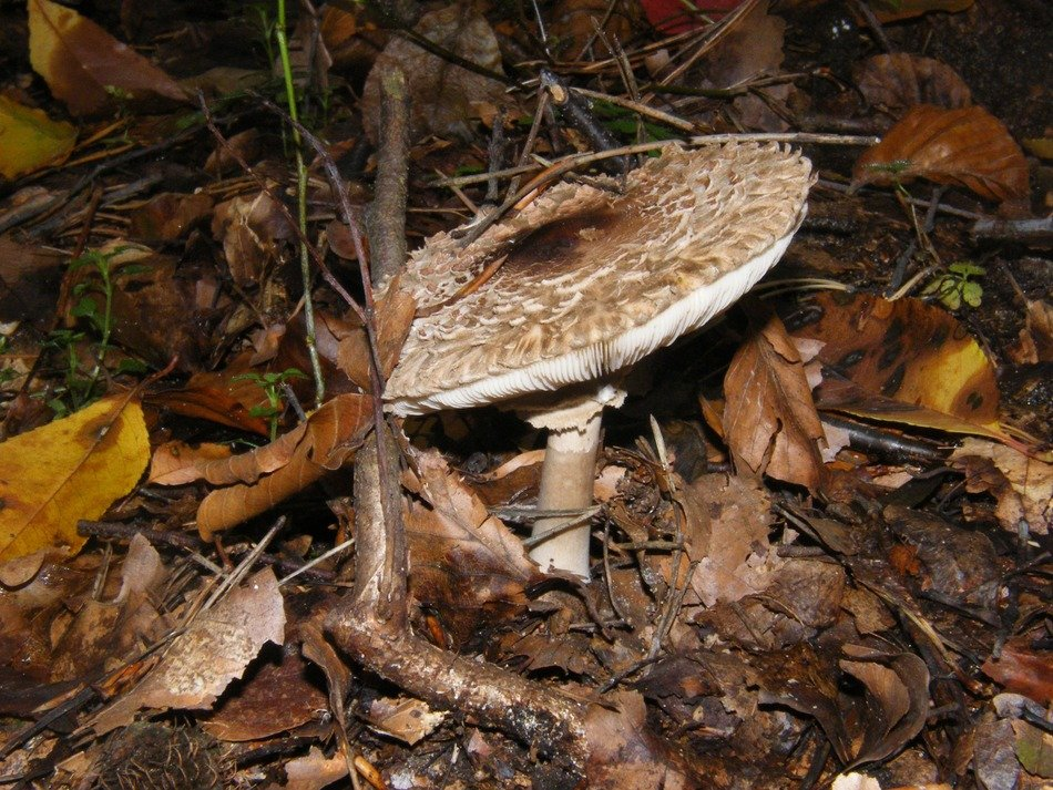 Mushroom among the dry leaves in the light of