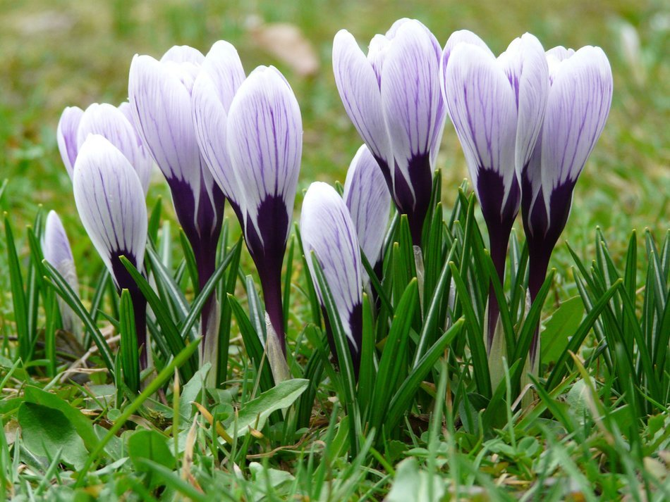closed crocuses in the green grass