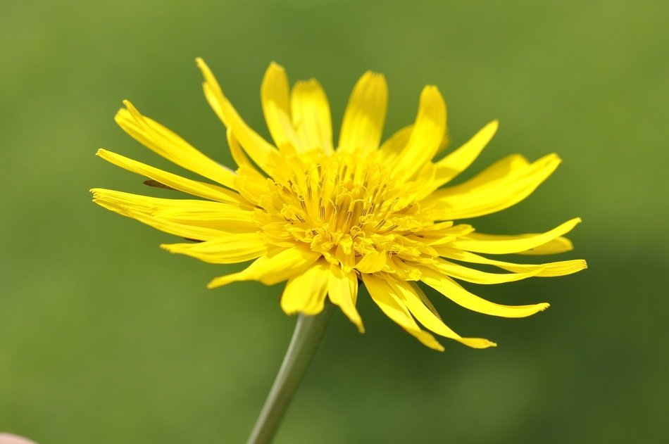 Close-up of the beautiful, big yellow dandelion on a green background