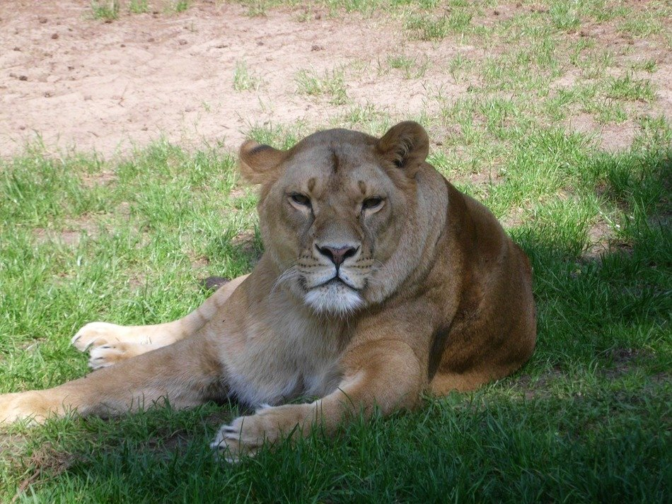 relaxed lion laying in serengeti zoo