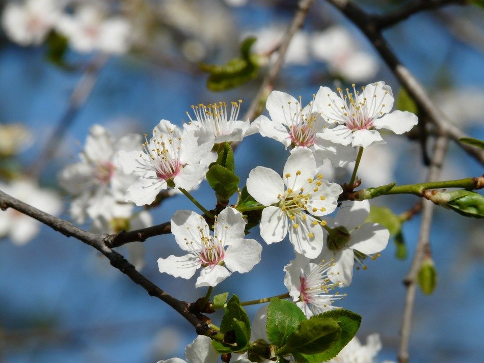 blooming of the wild plum spring