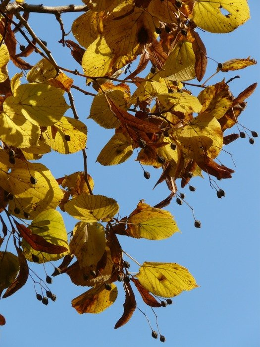 linden leaves on the background of the autumn sky