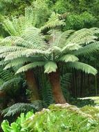fern trees in a tropical forest
