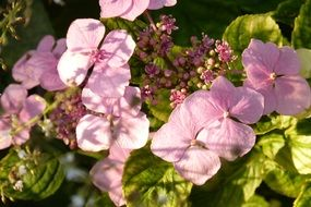 pink hydrangea is ornamental shrub
