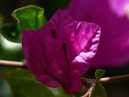 cute colorful flowers of bougainvillea