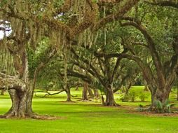 old oaks and spanish moss