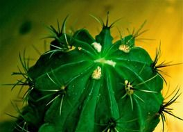 green cactus with big spines close up