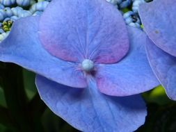 blue hydrangea flower blossom close-up