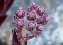 flower buds close-up