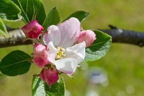 amazing apple tree blossom