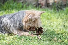 yorkie terrier dog playing with cone portrait