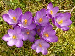 top view on crocuses