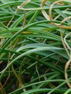 green bamboo grass closeup