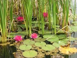 pink flowers water lilies in the swamp