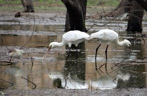 eurasian spoonbills in wildlife
