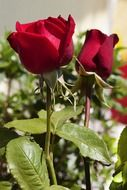 two red roses on a stalk