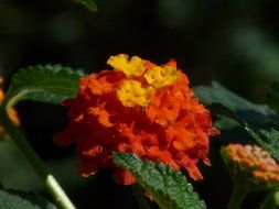 lantana flower close-up