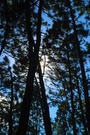 picture of the pine forest