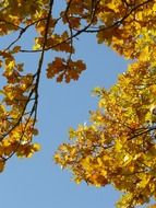 bottom view of the oak leaves against the blue sky