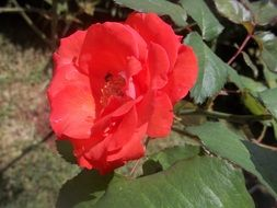 wondrous red beauty rosa