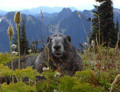 marmot in wildlife