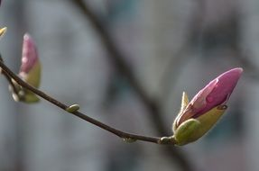 pink buds of magnolia on a branch